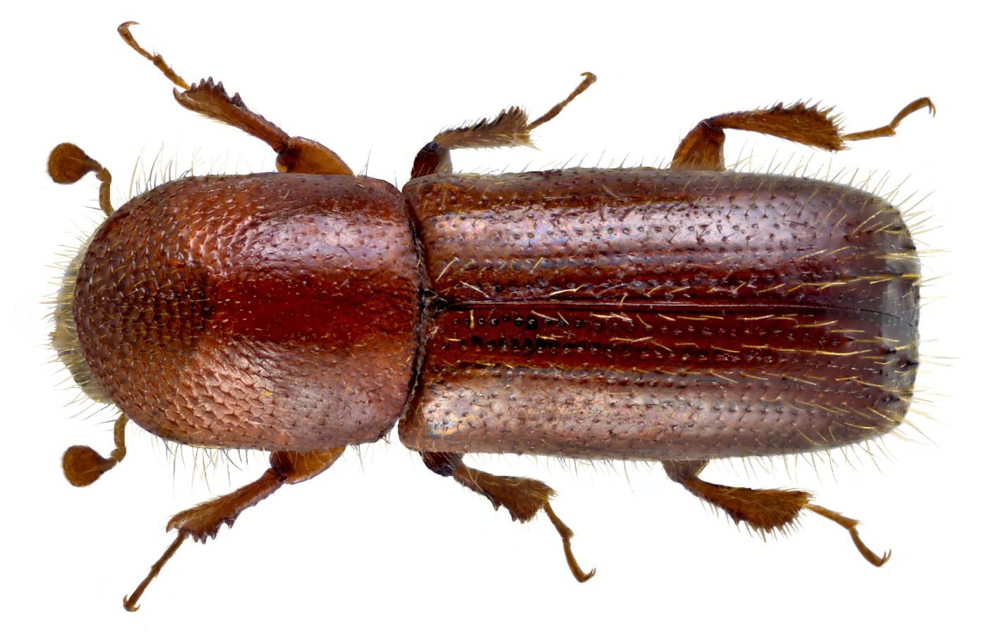XyleborusMonographus